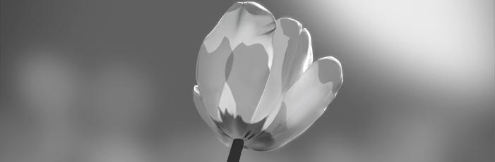 Tulip Value Study